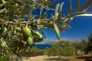 Olive groves in Greece